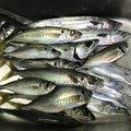 コウスケさんの静岡県静岡市でのマサバの釣果写真