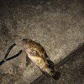 ぴぴぴさんの神奈川県川崎市でのカサゴの釣果写真