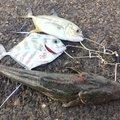 ドンコビッさんの鹿児島県鹿屋市での釣果写真