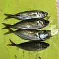 ミゾケンガーさんの長崎県大村市での釣果写真