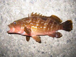 yasutakaさんの投稿画像,写っている魚はキジハタ