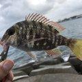 BBAさんの沖縄県でのフエフキダイの釣果写真