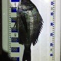 しげる君さんの千葉県安房郡でのクロダイの釣果写真