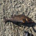 せりーぬさんの宮城県東松島市での釣果写真