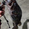 ロシナンテさんの宮城県亘理郡での釣果写真