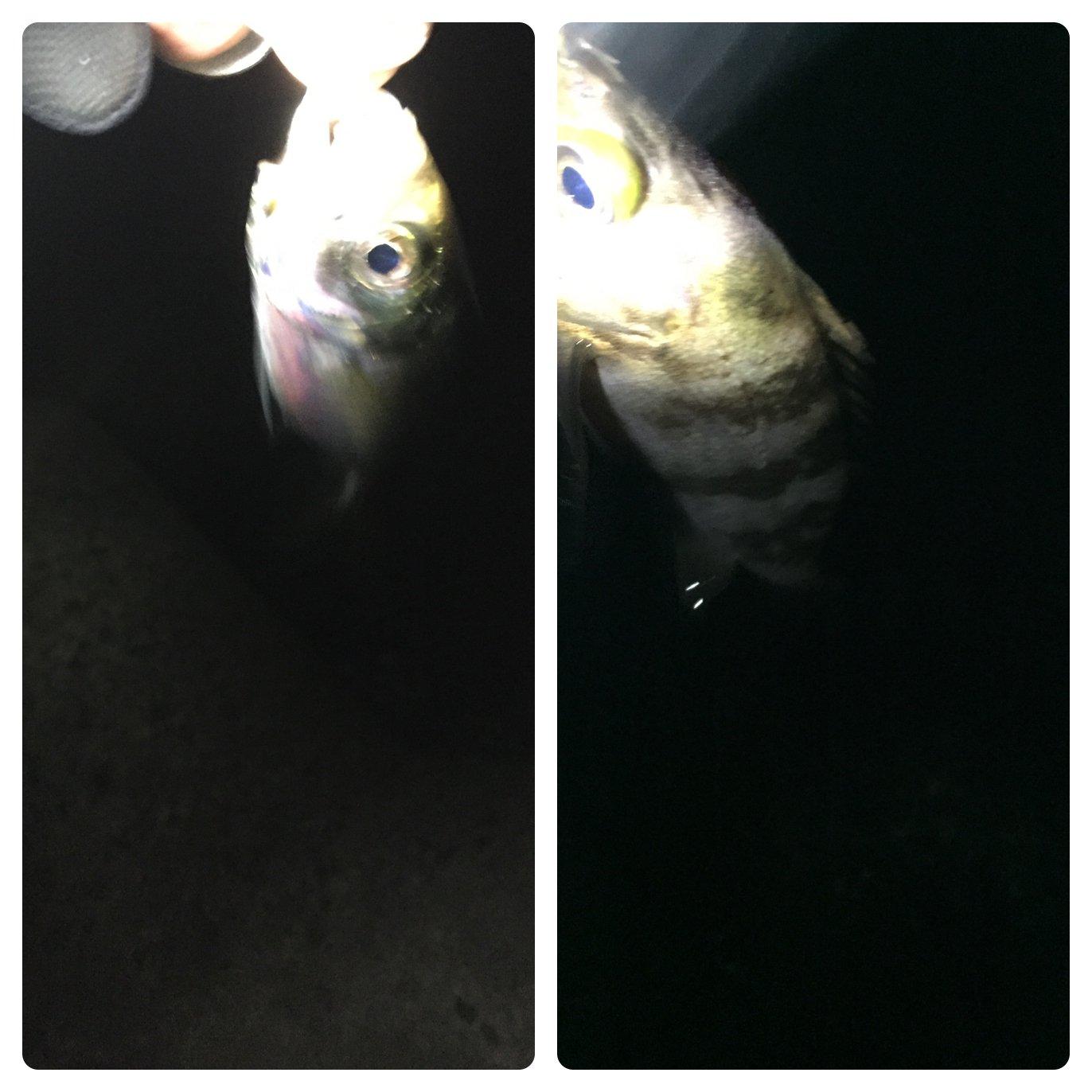 しーんさんの投稿画像,写っている魚はメバル,アジ