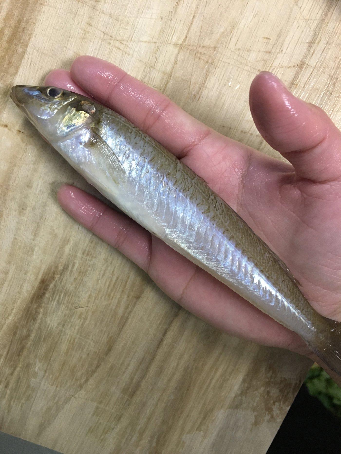 みきTさんの投稿画像,写っている魚はシロギス