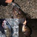 ボケ作さんの大阪府松原市での釣果写真