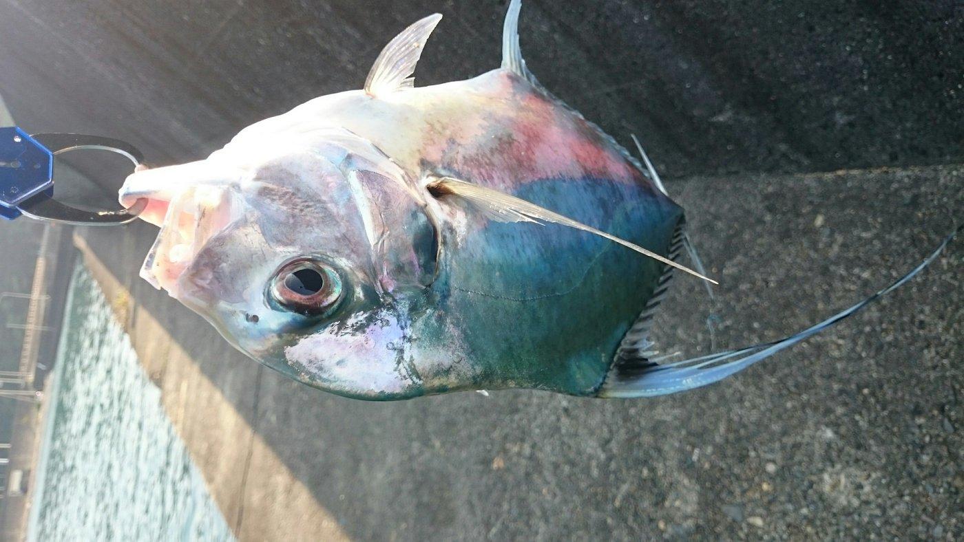 shuuzi49さんの投稿画像,写っている魚はアオリイカ