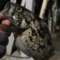 Yosukeさんの愛知県でのタケノコメバルの釣果写真