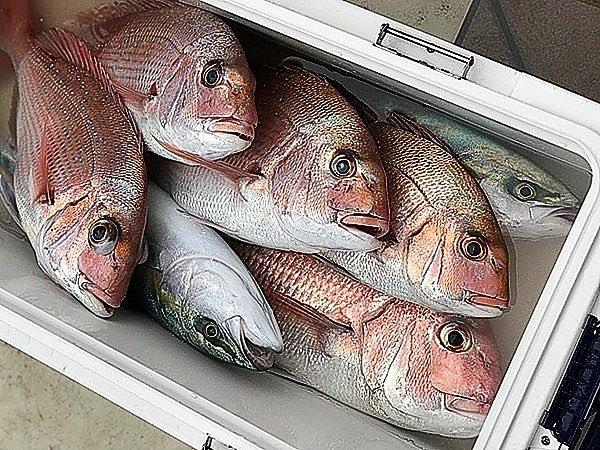 SHINGOさんの投稿画像,写っている魚はマダイ,ワラサ