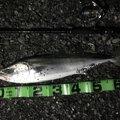 グラサンさんの静岡県富士宮市での釣果写真