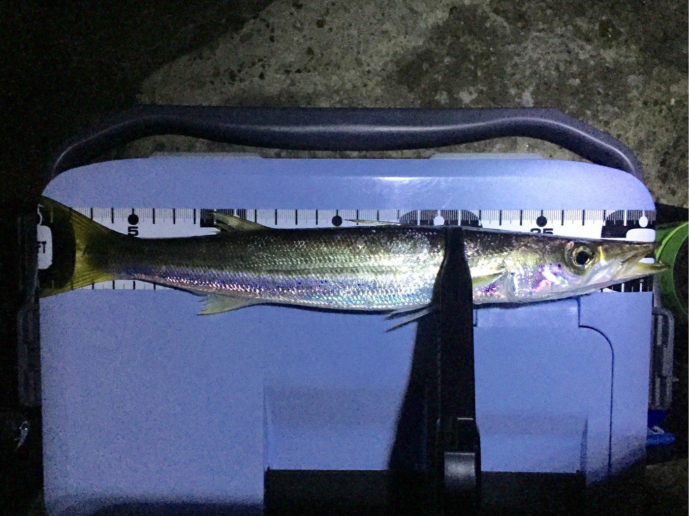 ピチさんの投稿画像,写っている魚はカマス