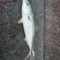 フォーさんのワラサの釣果写真