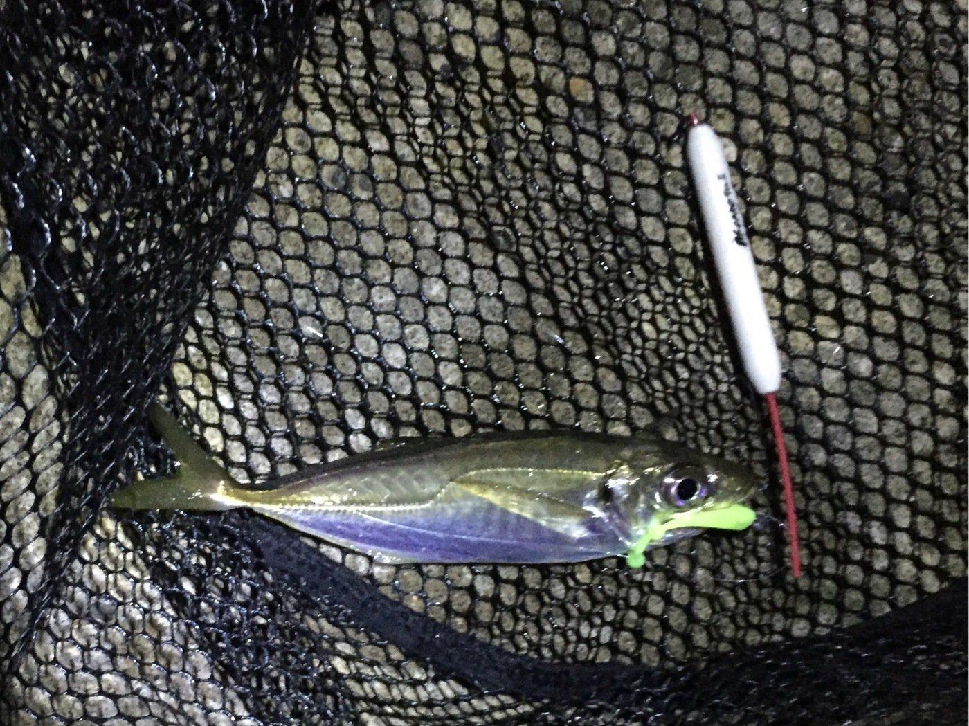 ピチさんの投稿画像,写っている魚はアジ