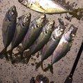 夏遥さんの神奈川県でのアジの釣果写真