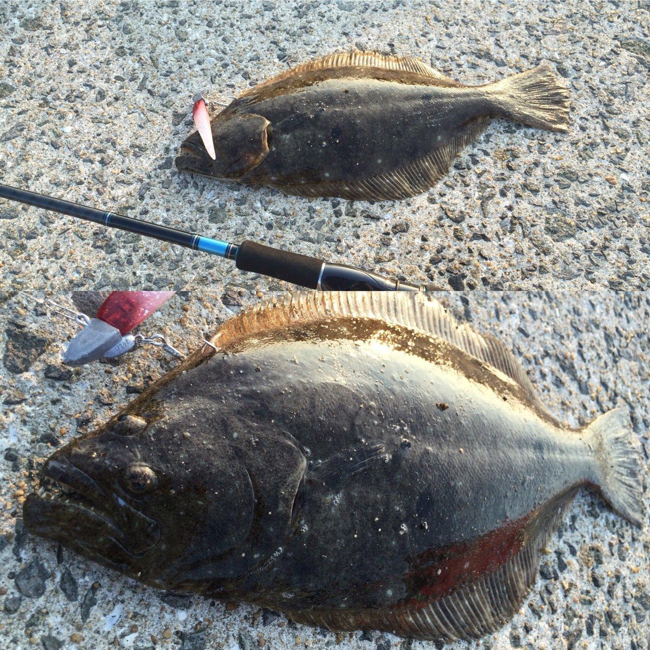 jive850さんの投稿画像,写っている魚はヒラメ