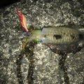ダイワさんの徳島県阿南市での釣果写真