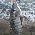 1048さんの新潟県佐渡市でのクロダイの釣果写真
