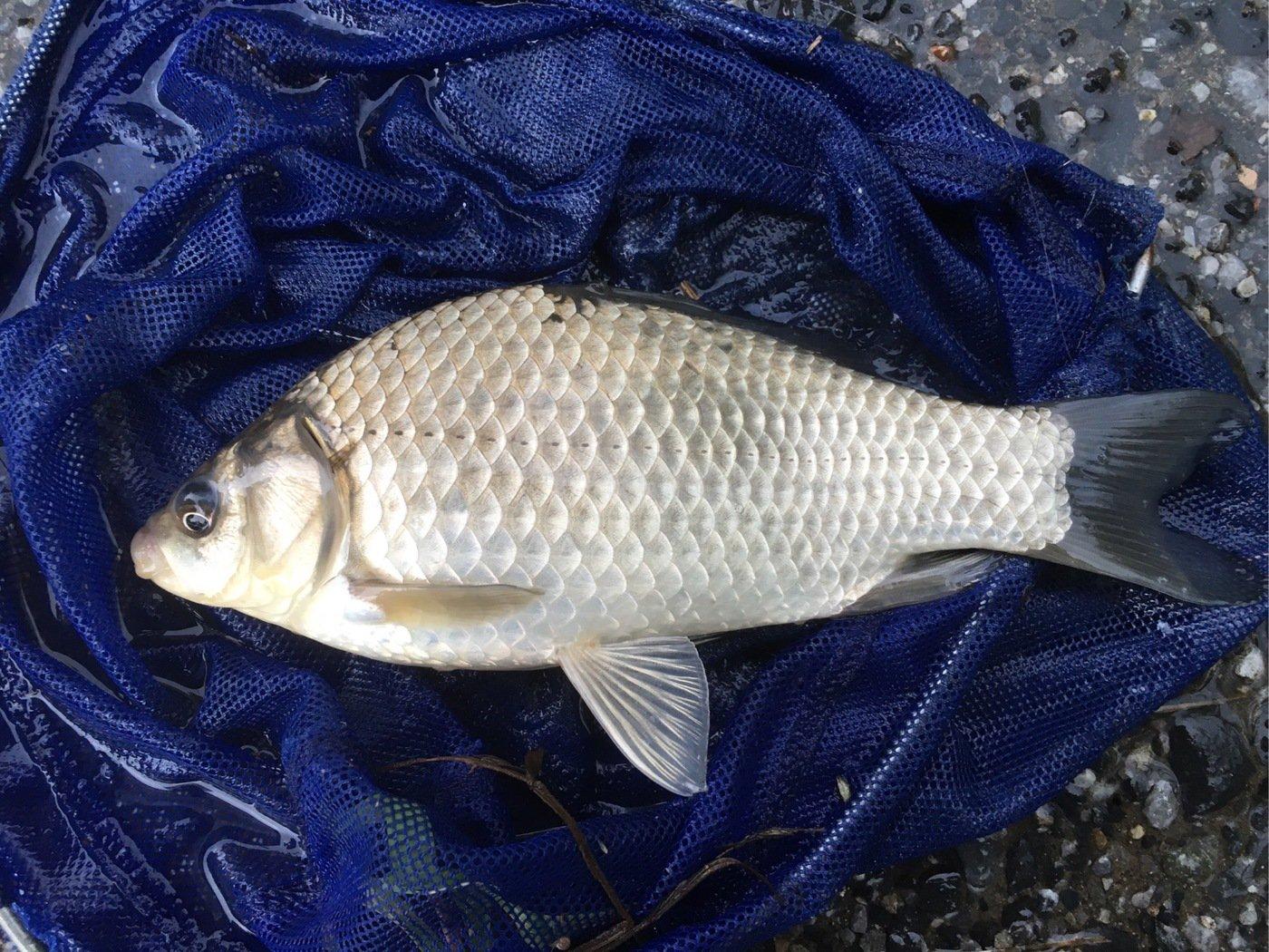 ニゴイさんの投稿画像,写っている魚はヘラブナ