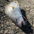 ユキヤさんの宮崎県児湯郡での釣果写真