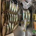 よっちゃんさんの広島県呉市での釣果写真