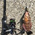 たにすけさんのアカササノハベラの釣果写真