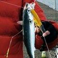 ジグマイスターさんの千葉県木更津市での釣果写真