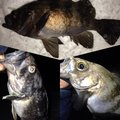 ビギにゃーさんの青森県青森市でのソイの釣果写真