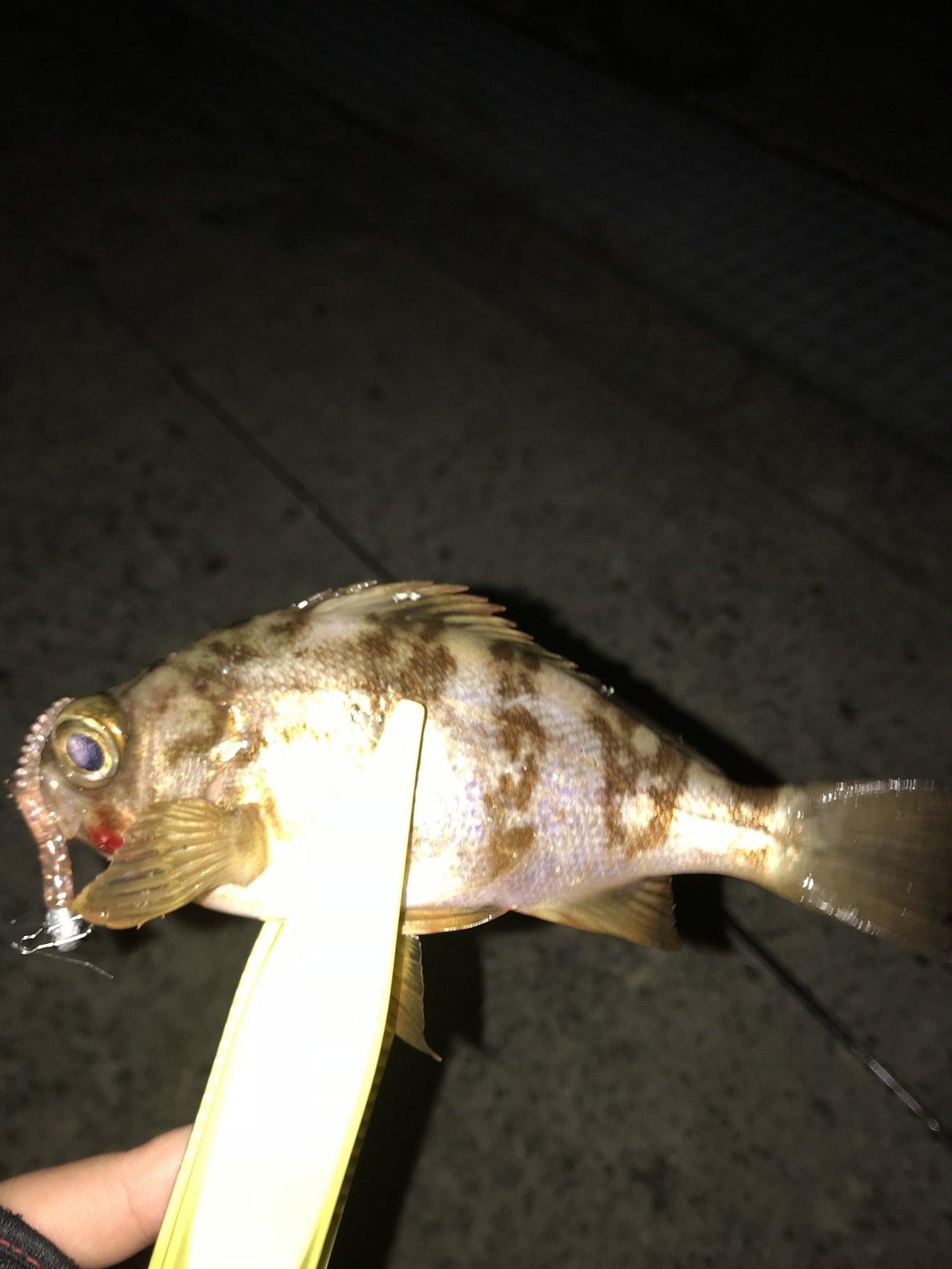 ひだりばし🥢(釣り垢)さんの投稿画像,写っている魚はメバル