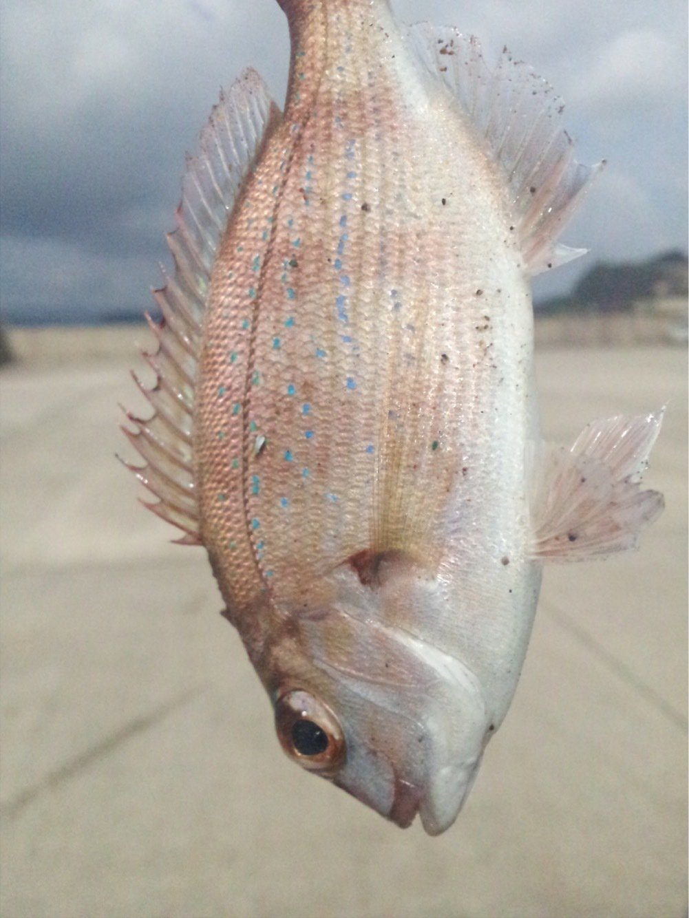 ゆうきさんの投稿画像,写っている魚はマダイ