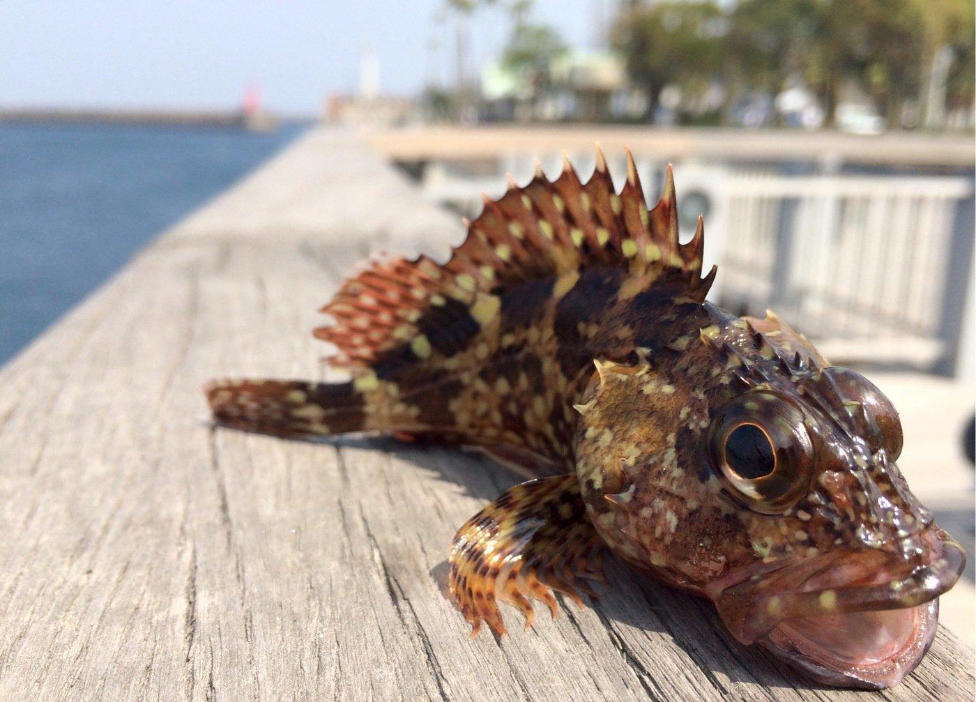 ゆうきさんの投稿画像,写っている魚はイソカサゴ