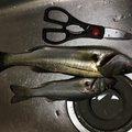 ひとしさんの三重県津市での釣果写真