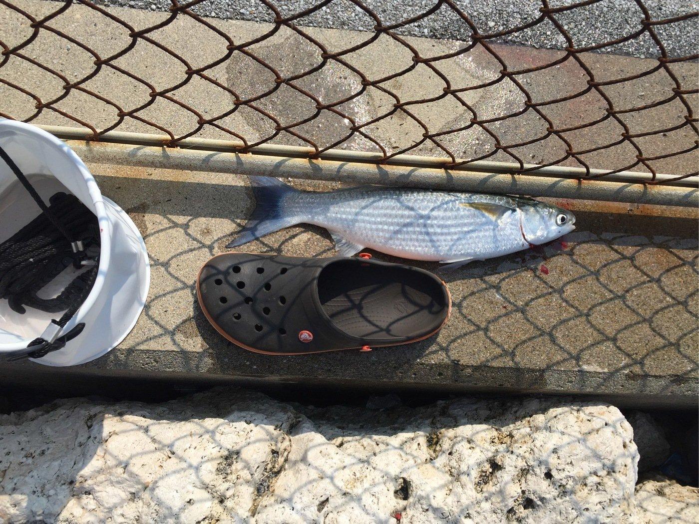 ルアー男さんの投稿画像,写っている魚はボラ