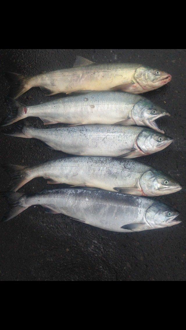 あさけんさんの投稿画像,写っている魚はサケ