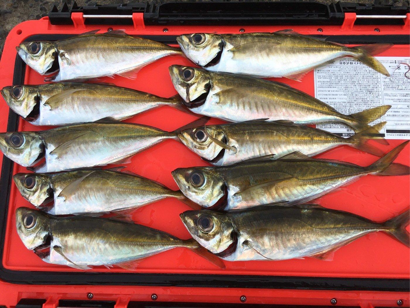 小野さんの投稿画像,写っている魚はアジ