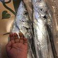 ひろゆきさんの兵庫県でのタチウオの釣果写真