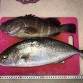Tikimaniaさんのカンパチの釣果写真