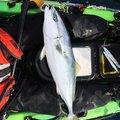 aloha-xxさんのワラサの釣果写真