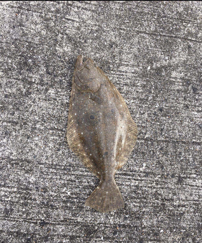 ともやんさんの投稿画像,写っている魚はヒラメ