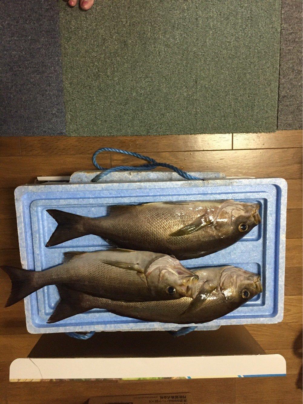 空坊さんの投稿画像,写っている魚はイサキ