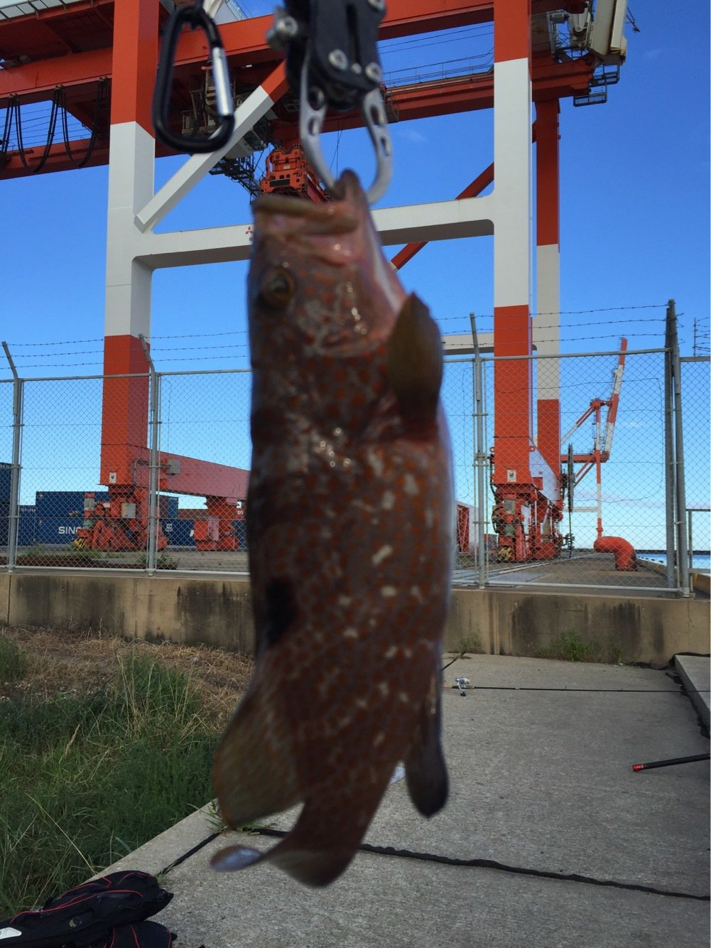 高橋幹博さんの投稿画像,写っている魚はキジハタ