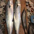 ヨッシーK2さんの福岡県でのサヨリの釣果写真