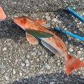 とろい丸さんの広島県呉市での釣果写真