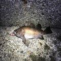 プラムさんの徳島県阿南市での釣果写真