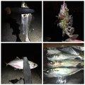 アナハゼくんさんの兵庫県神戸市でのマサバの釣果写真