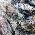 Hiroshi Aさんのコウイカの釣果写真