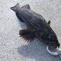 菅原大貴さんの宮城県本吉郡でのアイナメの釣果写真