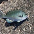 r737373sさんの高知県土佐清水市での釣果写真