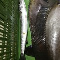 Sakamotp Keiさんのオニカマスの釣果写真